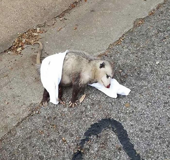possum in stato di gravidanza salvato 2