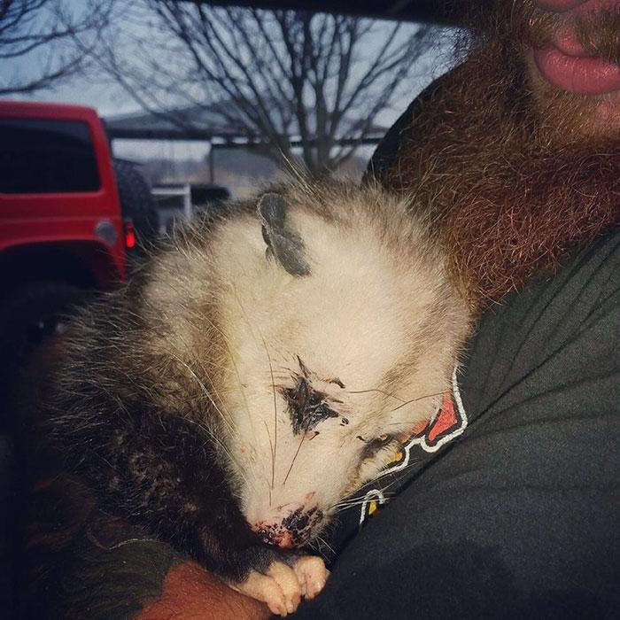 opossum gravida salvata 4