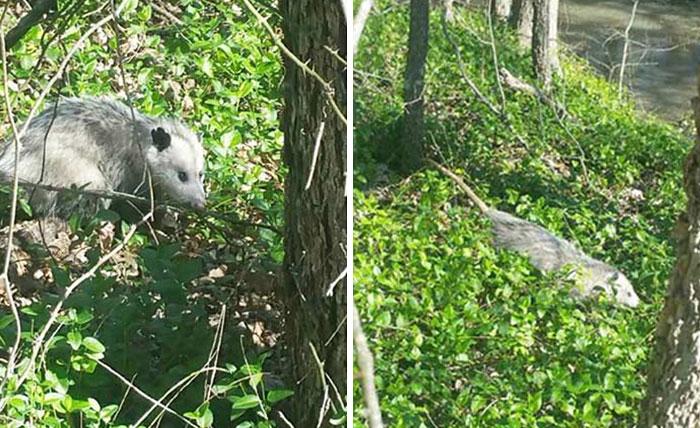 Possum in stato di gravidanza salvato 7