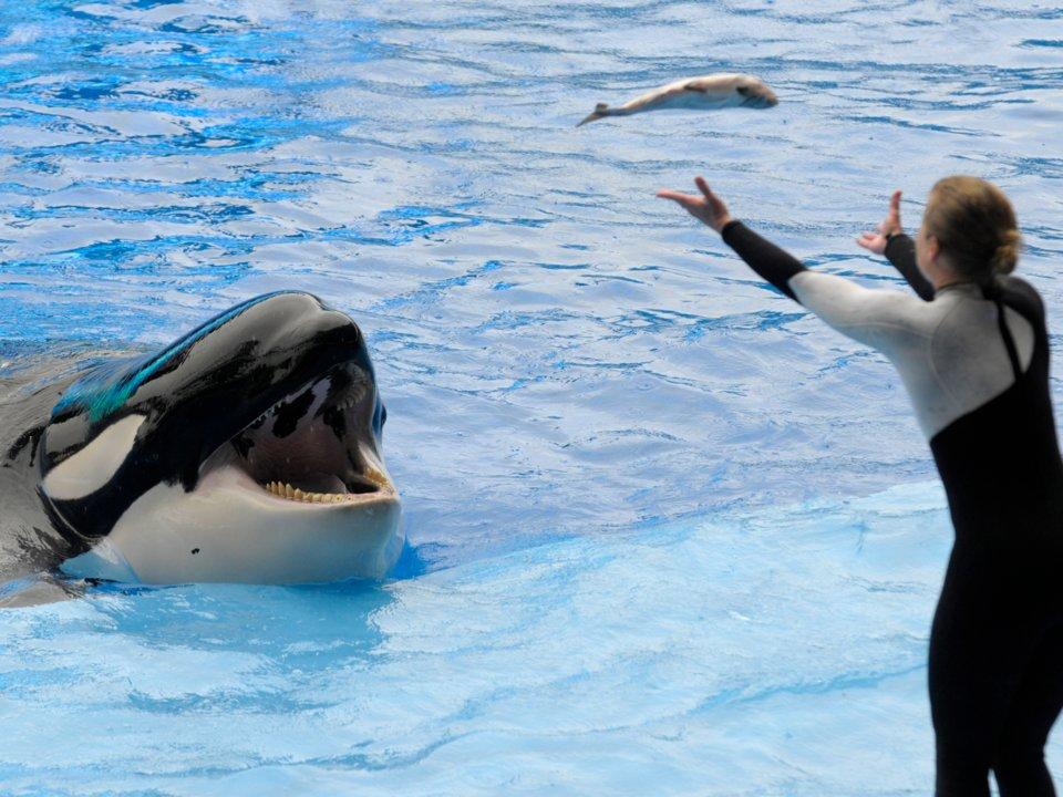 Le orche hanno una reputazione di violenza a causa di incidenti in luoghi come SeaWorld in cui gli animali hanno ucciso i loro allenatori. Tuttavia, le orche che non sono state catturate non sono mai state conosciute per uccidere un essere umano.