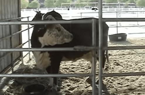 vacca-vitello-reunion-karma