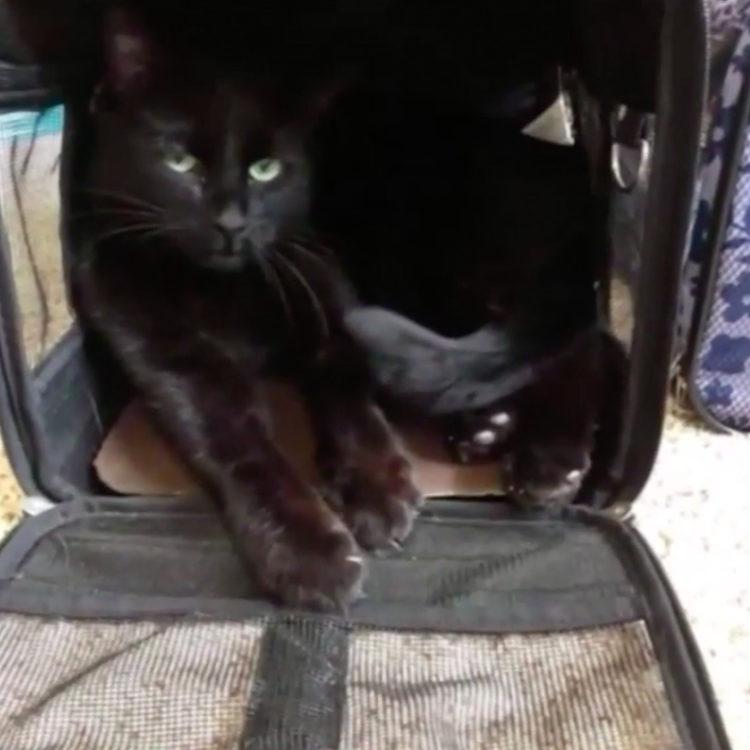 Dexter gato California