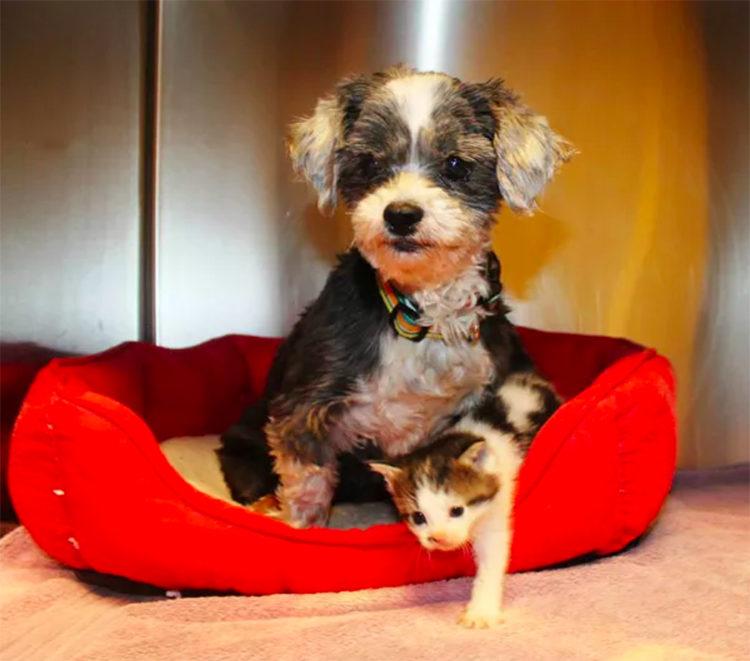 Il cane di Shih Tzu adotta il gattino