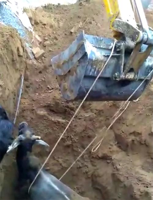 Rescue Cow India