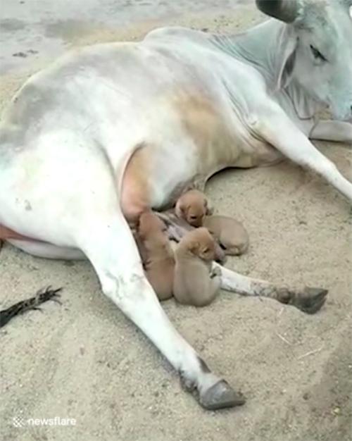 La mucca adotta cuccioli indiani